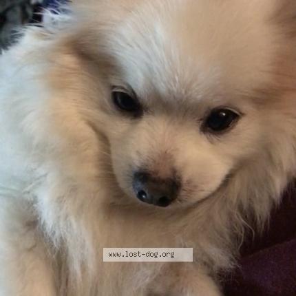 """Dog Lost on 07/11/2018 - """"Sugar"""""""