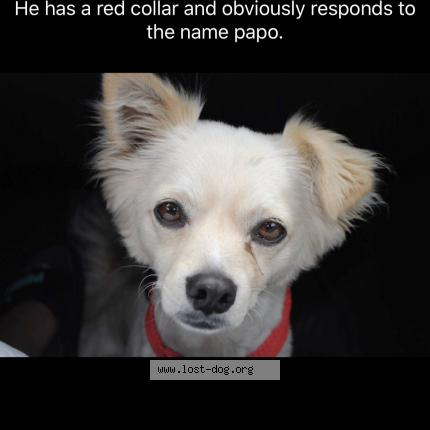 """Dog Lost on 08/11/2018 - """"Papo"""""""