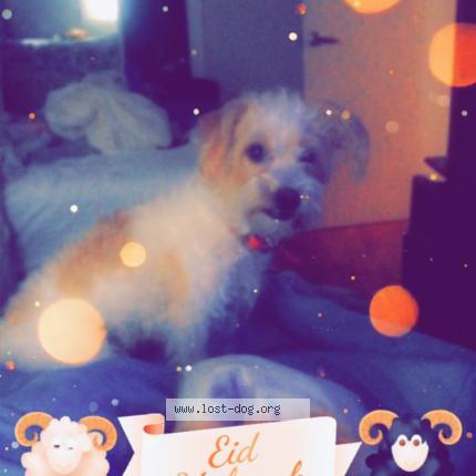 252878 Quennie chien perdu à MONTREAL - Chien Perdu Canada